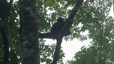 Spider Monkey in the rainforest