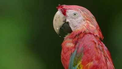 Scarlet macaw close-up