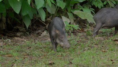The white-lipped peccary in the Peruvian rainforest