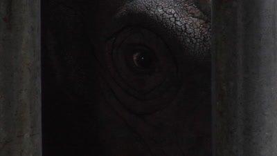 sumatran rhinoceros, feeding, close-up