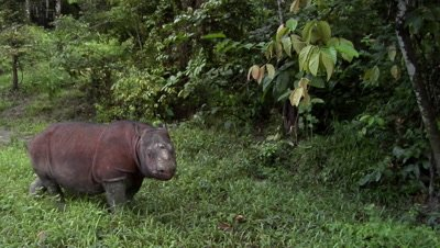 Tamtam, Sabah Rhino, endangered animal, Borneo