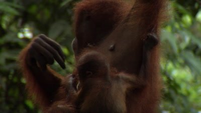 Baby and mother orangutang, Borneo