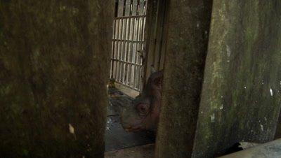 Bornean rhino, Sabah Rhino Project, Sumatran rhinoceros