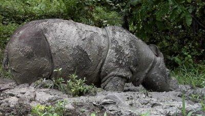 Sabah Rhino Project, Sumatran rhinoceros