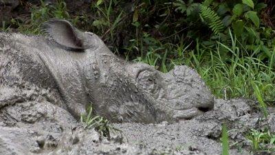 Bornean rhino, Sabah Rhino Project