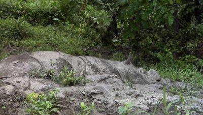 Mud bath, Tamtam, Sabah Rhino, Malaysia, Borneo