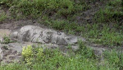 Tamtam, Sabah Rhino, endangered animal