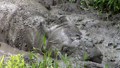Mud bath, Tamtam, Sabah Rhino