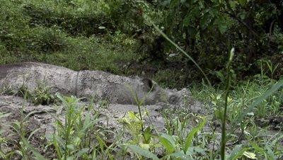 Tamtam, Sabah Rhino, endangered animal, bathing