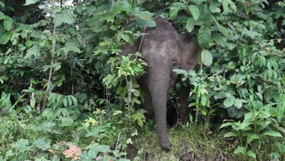 Bornean Pygmy Elephant, Borneo