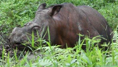 Tamtam the Sabah Rhino, Borneo Malaysia