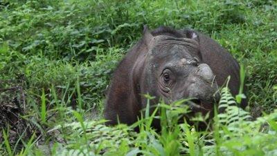 Tamtam the Sabah Rhino, Borneo