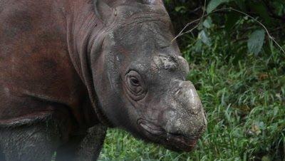 Tamtam the Sabah Rhino