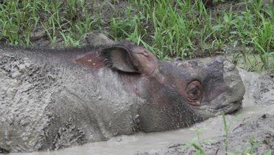 Mud bath, sabah rhinoceros, close-up