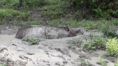 Mud bath, sabah rhinoceros, Borneo