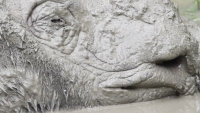 Sabah rhino, close-up