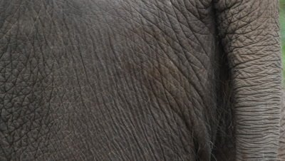 Skin, Bornean Pygmy Elephant, close-up