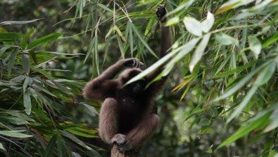Borneo Gibbon, Rainforest Endangered Species
