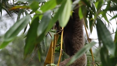Borneo Gibbon, endangered animal