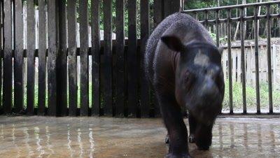 Male Sumatran rhinoceros, Borneo, protection area