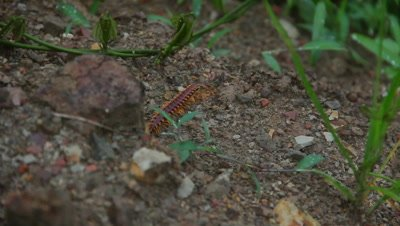 Centipede in Borneo jungle