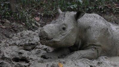 Cute Sumatran rhinoceros