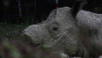 Cute bornean rhino
