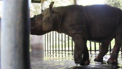 Injured sabah rhinoceros