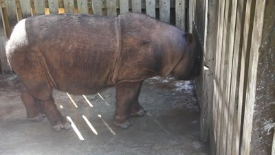 Sabah Rhino Conservation Project in Borneo