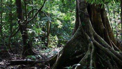 Huge bole in the rainforest, Borneo