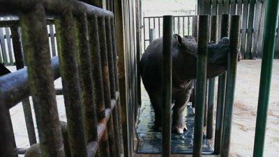 Sumatran rhinoceros, endangered animal