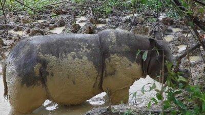 Sumatran rhino standing in the mud bath