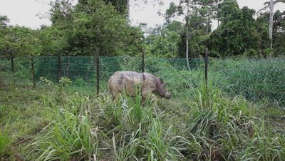 Sabah rhino walking in the protection area, Malaysia