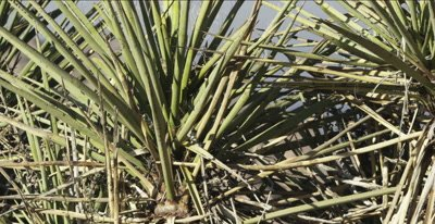 Cactus Wren calling