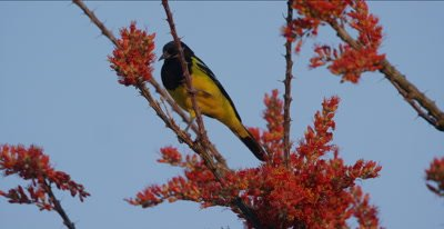 Scott's Oriole in Ocotillo plant