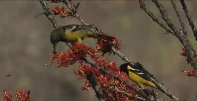 Male and Female Scott's Oriole in Ocotillo plant