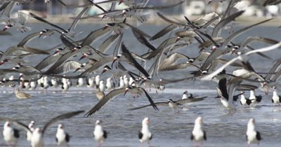 Large Group of Black Skimmers Taking Off and Flying