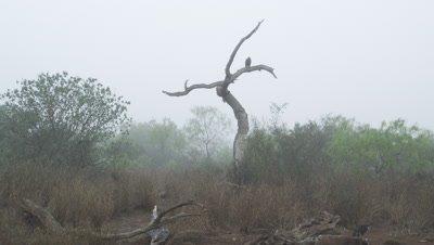 Harris Hawk on dead tree in morning mist