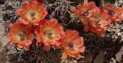 Claret Cup Cactus Flower
