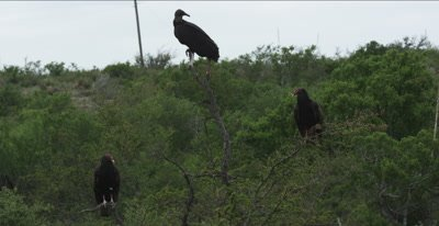 Black Vultures and Turkey Vultures perching