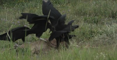 Black Vultures on deer carcass