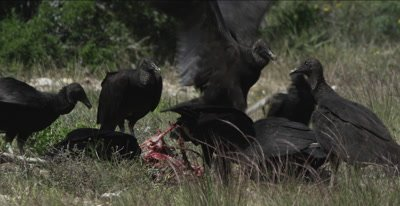 Black Vultures on deer carcass