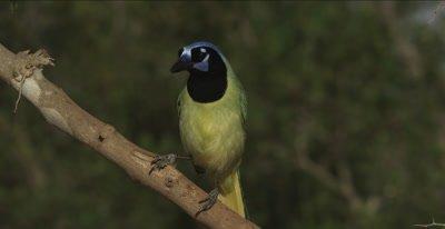 Green Jay