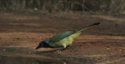 Green Jay and Mockingbird