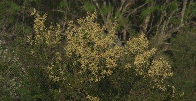 Acacia flowering