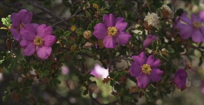 Antelope Bush - a wild rose