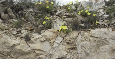 Evening Primrose and limestone