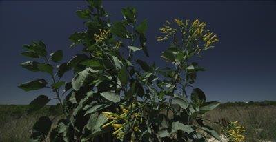 Wild Tobacco plant and limestone