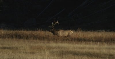 elk aggressively attacking grass