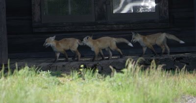 mama fox and babies in front of cabin